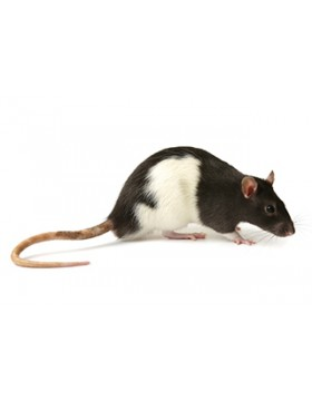 Rat - Medium Adult