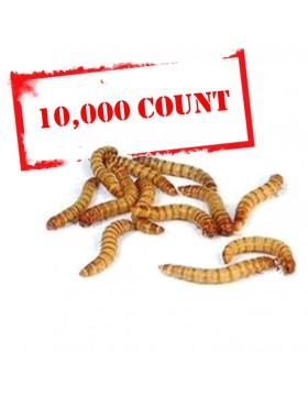 Mealworms - 10000