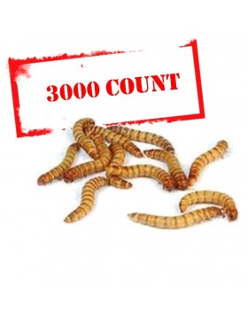 Mealworms - 3000