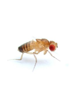 Fruit Flies - Melanogaster