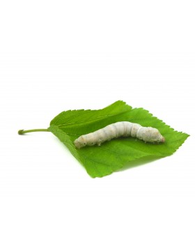 Silkworms - OUT OF STOCK